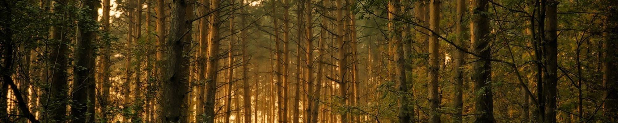 Pinède de Bois Douglas - Montagne Noire